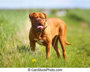 French mastiff - Purebred dog outdoors on a sunny summer day...
