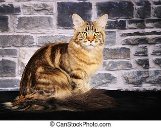 Purebred cat - Shot of purebred domestic cat on black...