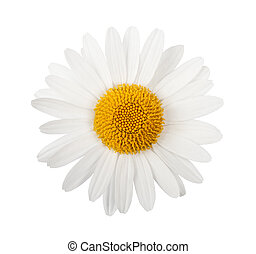 White daisy isolated on white background