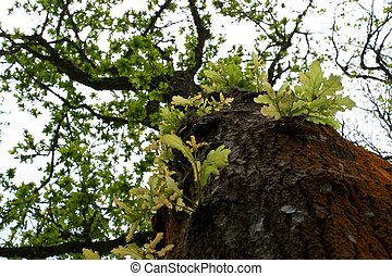 The green oak