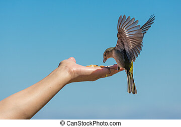 Yellow chaffinch eating peanuts from a womans hand - Yellow...