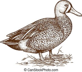 illustration of engraving duck - vector illustration of...