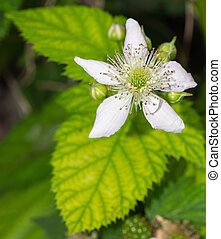 Blackberry Flower - Closeup of Blackberry Flower Blossom in...