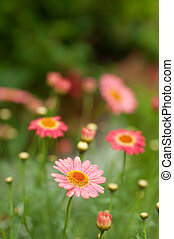 pink daisy flowers growing in a field with shallow depth of...