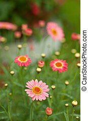pink daisy flowers