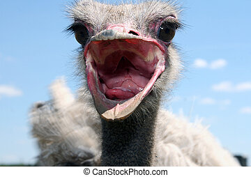 Ostrich. Acquaintance - Get acquainted, a beautiful and kind...
