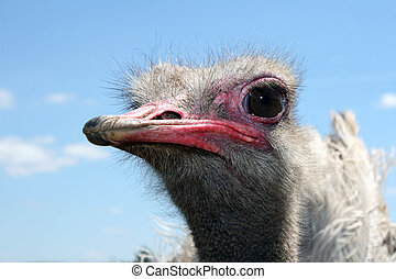 Ostrich Acquaintance - Get acquainted, a beautiful and kind...