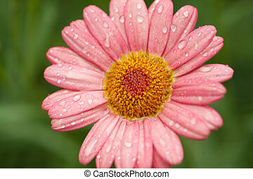 coral colored daisy