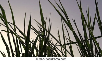 Early Morning Grass - Early morning On grass dew drops shine...