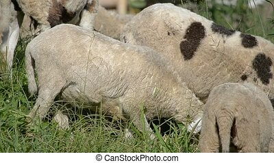 white lambs - group of white lambs in their natural habitat