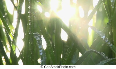 Drops of Dew on the Grass - Sunlight streaming through the...