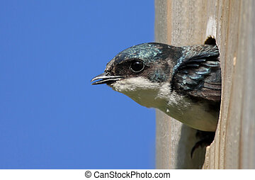 Tree Swallow In a Bird House - Tree Swallow (tachycineta...
