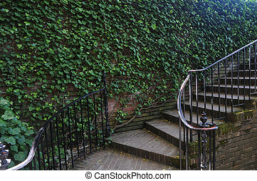 Parthenocissus tricuspidata with stairs