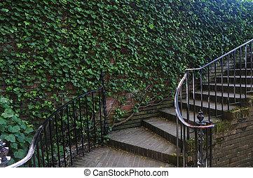 Parthenocissus tricuspidata with stairs