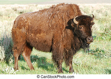 Bison standing in grass and sagebrush with wet hair from...