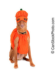 pumpkin dog - one reddish miniature doberman dressed in a...