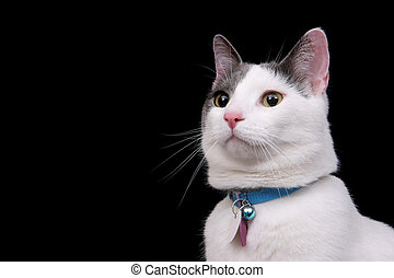 white kitty on black - one white cat alone on a black...