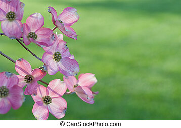Pink Dogwood - pink dogwood off center with room for copy