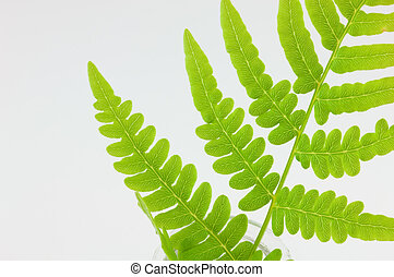 Spring Fern - Close up of spring fern isolated on white