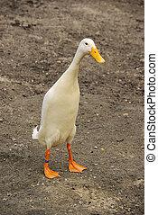 runner duck 04