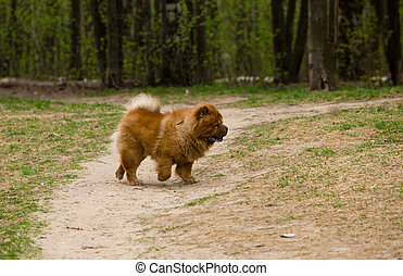chow-chow on walk - Dog of breed of a chow-chow on walk