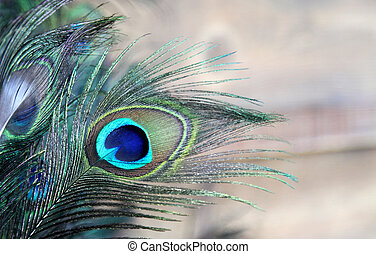 Blue Green eye of a Peacock Feather