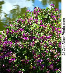 Purple flowering bush - A colorful bush with purple flowers