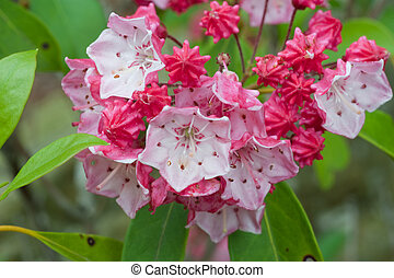 mountain laurel plant - close up of red mountain laurel...