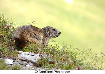 Marmot on an alpine field
