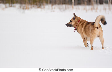 West Siberian Laika hunting in winter forest