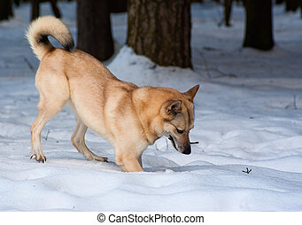 Finnish Spitz-dog digging snow in winter forest