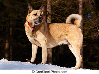 West Siberian Laika in winter forest