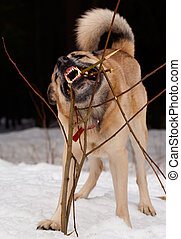 Gnawing dog - West Siberian Laika gnawing a young tree