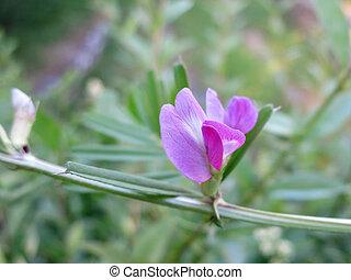 Common vetch (Vicia sativa) - detail