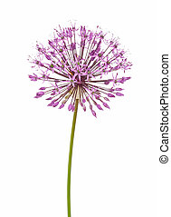 Allium flower isolated on white background