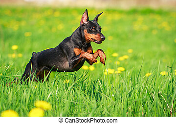 small dog - Miniature Pinscher dog