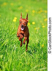 small dog - Miniature Pinscher dog
