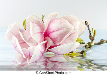 Magnolia flower with reflection in water.