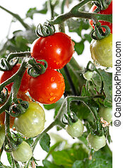 Growing tomatoes closeup