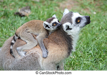 Ring-tailed Lemur Catta with baby - A mother ring-tailed...