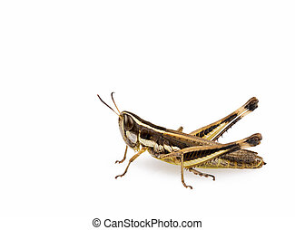 Grasshopper insect isolated on a white background