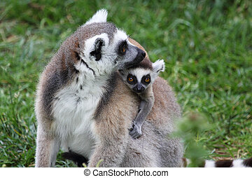 A mother ring-tailed lemur (Lemur Catta) carrying a baby on the back