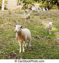 Sheep and lambs in a paddock in Australia
