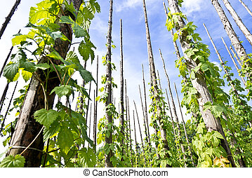 traditional hop garden in Zatec Town in Czech Republic