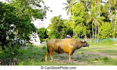 Bull Is Feeding on the Meadow. - Big Bull (Buffalo) is...