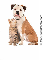 A kitten and dog on white - An olde English Bulldog and...