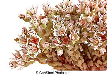 Sedum or Feverish grass - Shallow inflorescences of plant...
