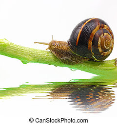 Snail on plant stem and water isolated on white