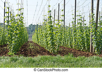 hop garden in June - hop garden in vegetation, Steknik near...