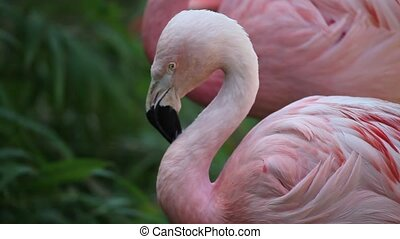 Pink Flamingo  - Detail of two Pink Flamingo in the lake